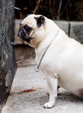 White fat lovely pug dog Stock Image