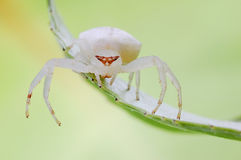 White and fat spider Stock Photography
