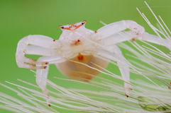 And white and fat of spider Royalty Free Stock Photos
