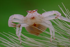 And white and fat of spider Royalty Free Stock Images