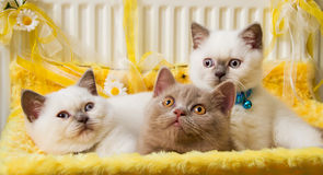 White and Fawn British Shorthair Kittens Stock Photography