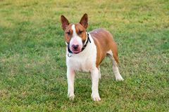 Bull terrier on green grass. White and fawn Bull terrier dog looking at camera viewed in close-up from its front standing on green grass lawn royalty free stock photo