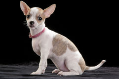White with fawn markings Chihuahua puppy Royalty Free Stock Images