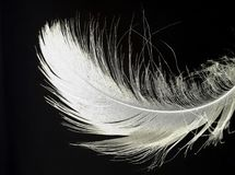 A single white detailed feather. White feather and a black background. The detailed feather floats in the air and may symbolize lightness, softness, beauty or royalty free stock image