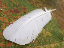 White feather. On ther maple leave Royalty Free Stock Photography