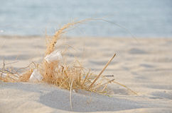 White feather in beach grass Royalty Free Stock Photography