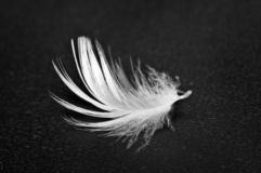 White feather on black background. Macro royalty free stock photo