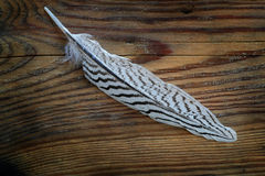 White feather with black stripes on old wood. White feather with black stripes from a silver pheasant on a old wooden background Stock Image