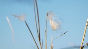 White Feather On Blade Of Grass Moved By The Wind stock video footage