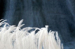 White feather on blue gray background Stock Image