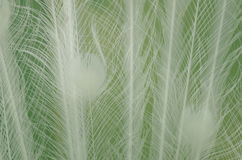 White feather close-up Royalty Free Stock Photo