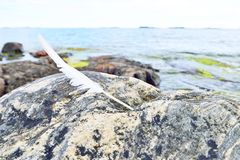 White feather on a coastal rock. In Finland royalty free stock images
