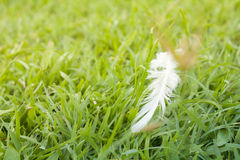 White Feather fall  on green grass field. Soft focus nature. out of focus green background Royalty Free Stock Photos