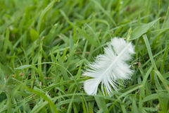 White Feather fall  on green grass field. Soft focus nature. out of focus green background Royalty Free Stock Images