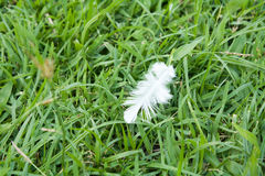 White Feather fall  on green grass field. Soft focus nature. out of focus green background Stock Photography
