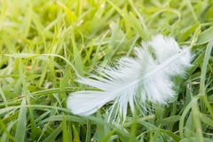 White Feather fall  on green grass field. Soft focus nature. out of focus green background Royalty Free Stock Photo
