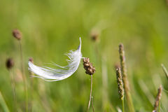 White feather in the grass. Small and delicate white feather in the grass Stock Images