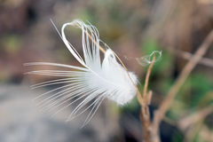 White feather with grass flower Royalty Free Stock Photo