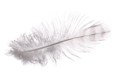 White feather with grey strips Royalty Free Stock Image