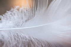 White Feather. I took a macro picture of a feather I found on the ground. The feather was pure white and was fluffy near the bottom of the feather meaning it was Stock Images