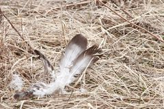 White feather laying in dead grass. Two white and brown feathers laying in tan colored dead grass in a field Royalty Free Stock Photography