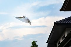 White feather pigeon flying against light blue sky with domestic stock image