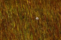 White Feather Seaside Reeds Grass Royalty Free Stock Photos