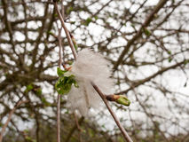 White Feather Tuft hanging on a tree. A tuft of a white bird`s feather hanging upon a tree Stock Image