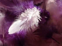 White feather on violet pink feathers background Stock Photo