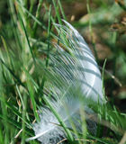 White feather weaved withing grass. White feather interlaced with grass blades Royalty Free Stock Photo