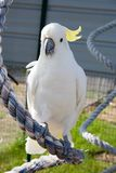White feathered bird in the summer sun. Exotic pet Royalty Free Stock Photography
