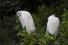 White Feathered Birds Perching on a Tree Royalty Free Stock Photos