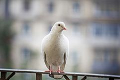 White pigeon on handrail. White-feathered pigeon sitting on metal handrail on blurred background in Moscow, Russia Royalty Free Stock Image