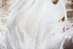 White feathers background Royalty Free Stock Photos