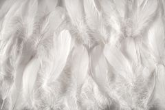 White feathers background Stock Image