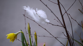 White feathers. Stock Photo