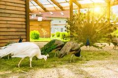 White female albino peafowl grazing Royalty Free Stock Photo