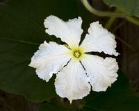 White Female Bottle Gourd Flower Closeup royalty free stock images