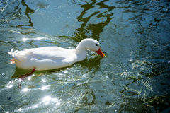 White female duck Royalty Free Stock Photos