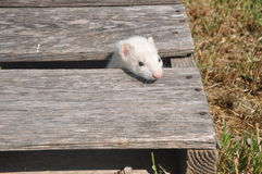 White female Ferret Stock Photography