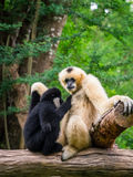 White female gibbon breast feeding her child Royalty Free Stock Photos