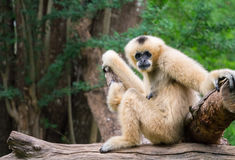 White female gibbon Stock Image