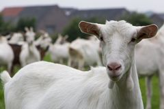 White female goat Stock Photography