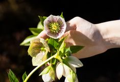 White female hand holds a flower of a helleborus that grows  garden. A white female hand holds a flower of a helleborus that grows  garden, one is flowering Royalty Free Stock Image