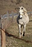 White female horse with yellow halter trotting near barbed wire fence Royalty Free Stock Photos