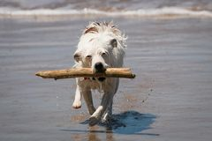 Jack Russell dog enjoying fun fetching a stick in the waves at a beach. White female Jack Russell dog called Mabel, enjoying fun swimming and playing, and royalty free stock photography