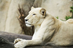 White female lion Stock Photos