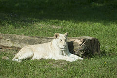 White female lion Royalty Free Stock Photos