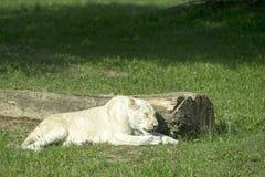 WHITE FEMALE LION Stock Images