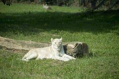 WHITE FEMALE LION Royalty Free Stock Photo
